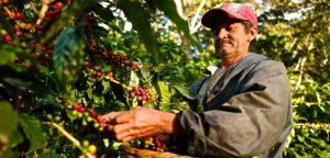 cafe nicaragua recoleccion
